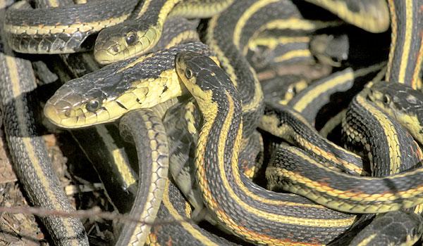 common garter snakes